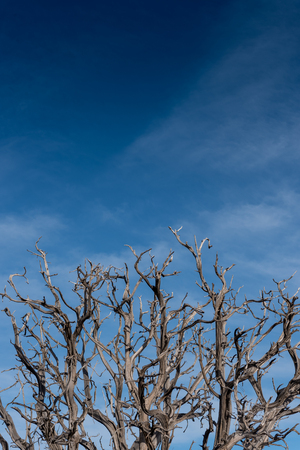 joshua tree national park: Gnarly Branches of Dried Tree on Blue Sky