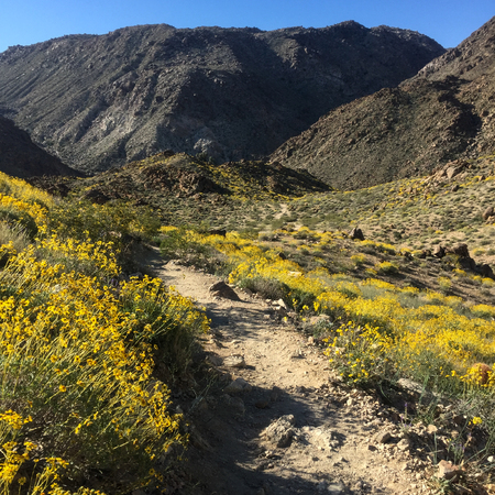 Rocky Trail Cuts Through A Yellow Blanket of Flowers During a Super Bloom