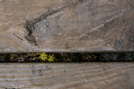 treads: Small Yellow Sapling Grows Between Stair Treads on Hiking Trail