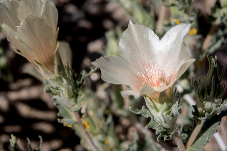 joshua: Close up of Sand Blazing Star Bloom in Joshua Tree National Park