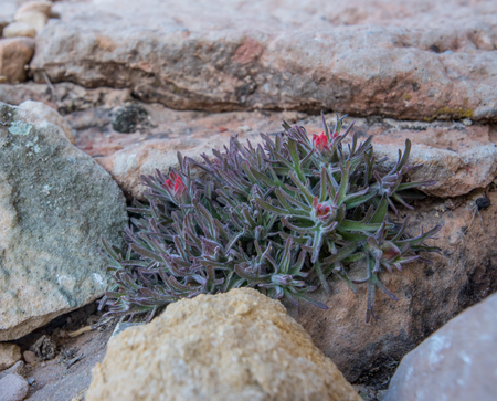 Small Indian Paint Brush Plant Growing In Rocks in Desert Stock Photo