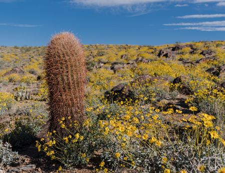 Tall Barrel Cactus in Field of California Brittlebush during super bloom