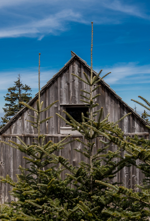 cirrus: Two Small Pine Trees Grow Near Weathered Cabin in Smokies