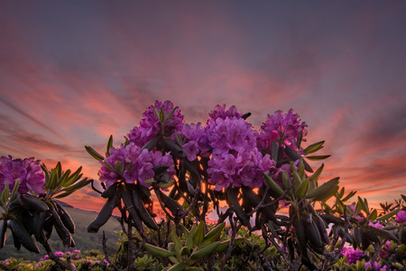 Looking Up At Rhododendron Blooms With Sunset in the Clouds Behind