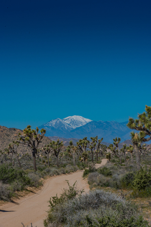 joshua tree national park: Dirt Road Winds Through Joshua Trees with snow capped mountains in distance Stock Photo
