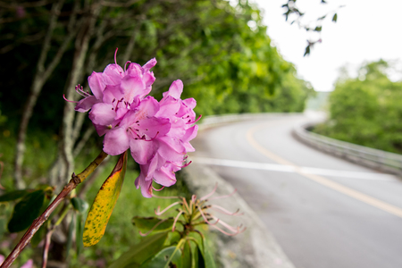 Rhododendron Along Side of Blue Ridge Parkway Bridge in Spring