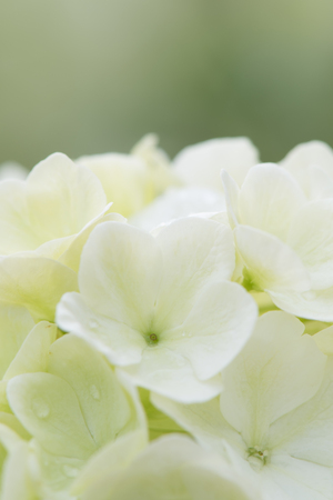 White Bloom of Chinese Snowball