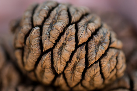 Detail on Sequoia Seed using a vignette lighting effec Stock Photo