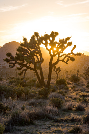joshua: Low Angle of Late Afternoon Sun Through Joshua Tree in desert