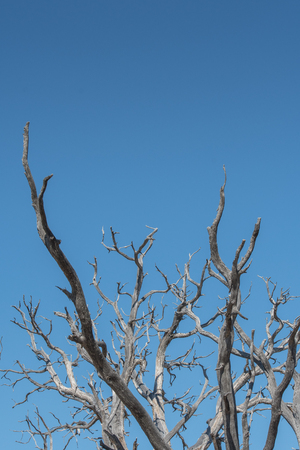 Gnarly Branches of Tree on Blue Sky Vertical with copy space