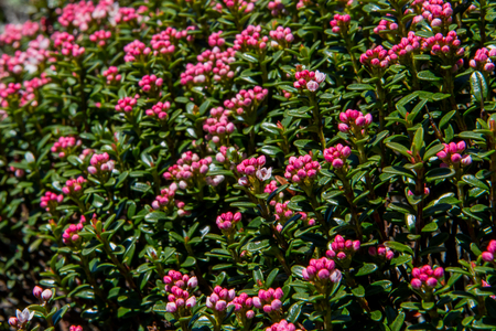 laurel mountain: Mountain Laurel Buds right before opening in the North Carolina mountains Stock Photo