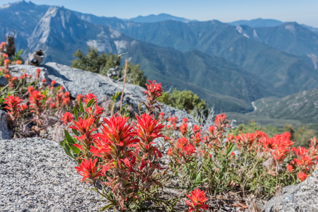 Indian Paintbrush with High Sierras in Background