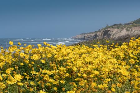 California Brittlebush Along Californias Rugged Coast near San Diego