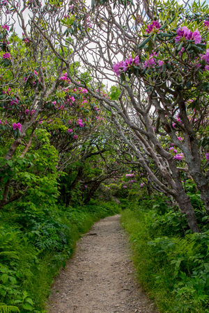 Tunnel of Rhododendron Bushes with thick forest cover