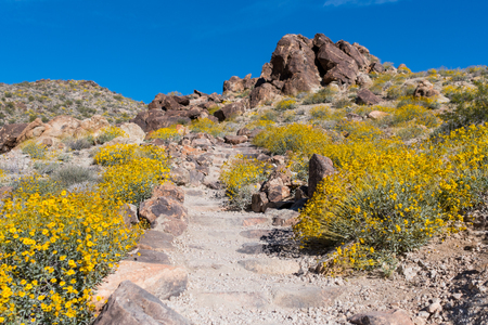 joshua: Yellow Blooms Cover the Ground Along Dirt Trail leading up a set of stairs Stock Photo