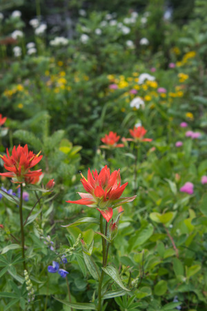 Orange Indian paintbrush blooms in alpine meadow along with a variety of other wildflowers Stock Photo