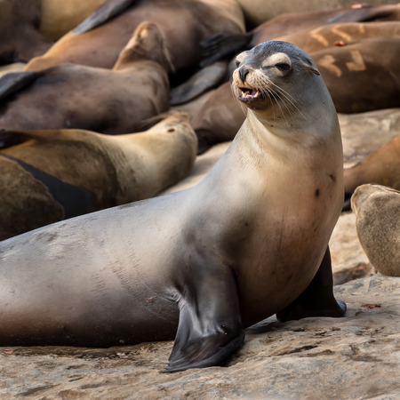 Sea Lion Starts to Bark in front of other sleeping sea lions Stock Photo