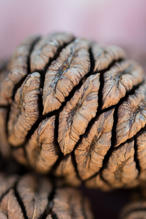 Close up of Sequoia Seed shows detail of small pinecone Stock Photo