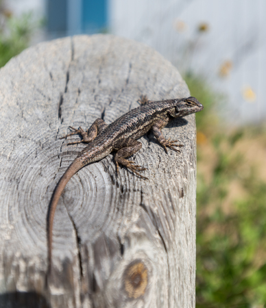 LIzard on Post with selective focus styling