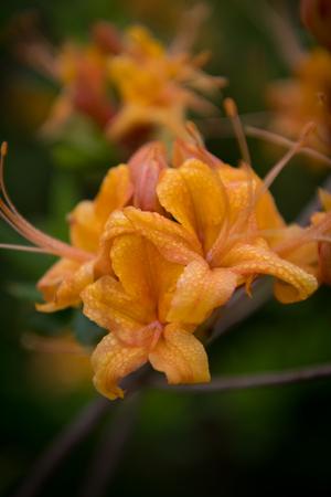 Selective Focus of Dew Drops on Azalea blooming in summer