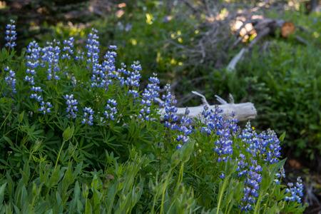 Morning Light Over Purple Lupine  in Alpine Meadow