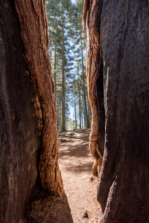 Looking Out of a Cracked Sequoia Tree
