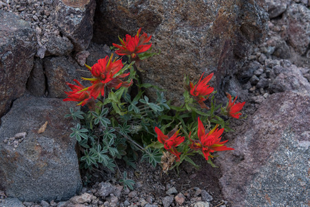 sierras: Orange Indian Paitbrush Grow Out of Rock in Pacific northwest