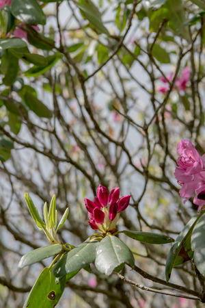 Rhododenron Blooms Amid Tangle of Branches iin Blue Ridge Wilderness