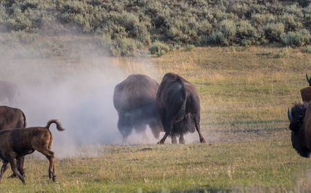 Two Male Bison Spar during the annual rut season