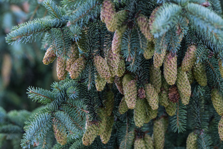Tight Grouping of Pine Cones on tree Stock Photo