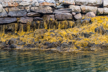 Yellow Seaweed At Low Tide along Maine coast in autumn