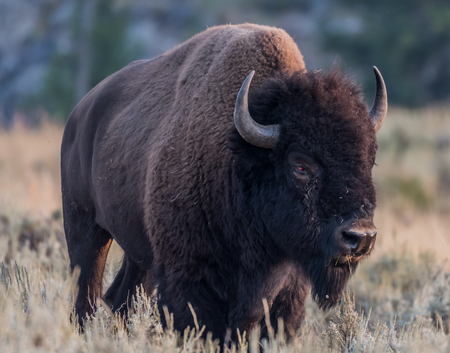 American Bison with Injured Eye in Yellowstone