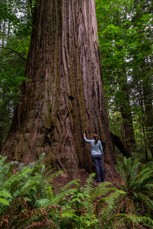Woman Looks Up at Large Redwood in Thick Forest