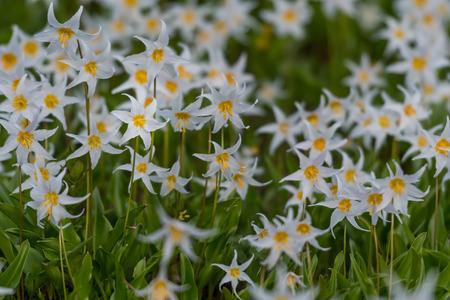 Avalanche Lilies Blooming in alpine meadow below Mount Rainier