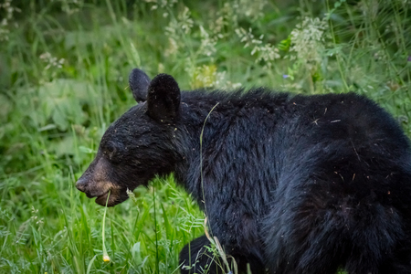 Black Bear Walks Through Thick Grass in forest clearing Stock Photo