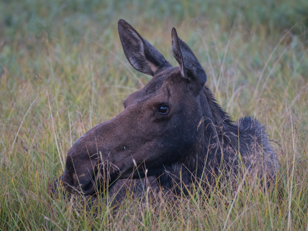 Female Moose Rests in Grassy Field in Rocky Mountains