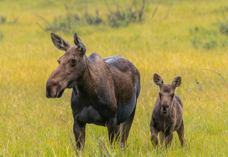 Moose Calf Alert Next to Mother in Grassy Field 스톡 콘텐츠