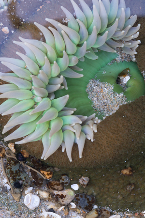 White Tentacles from Anemone Underneath Water in tide pool Stock Photo
