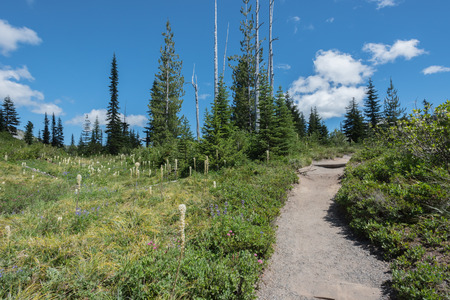 Bear Grass Grows Along Mount Rainier Trail in summer