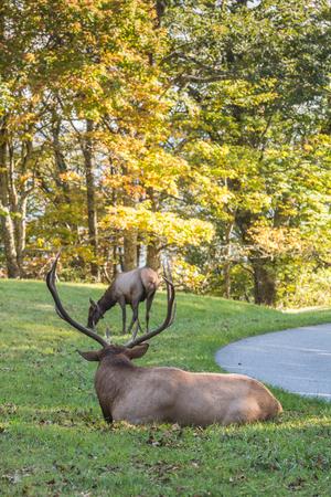 Bull Elk with Female Elk in His Sights Along Side of Road