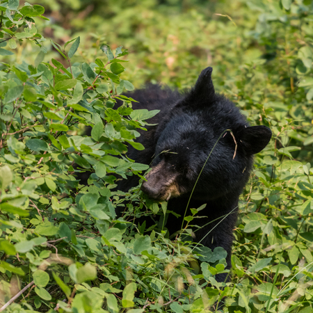Black Bear Munches on Plants in Summer Forest