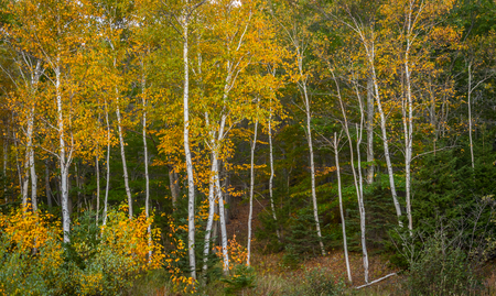 Paper Birch Trees with Yellow Leaves in Maine forest Stock Photo