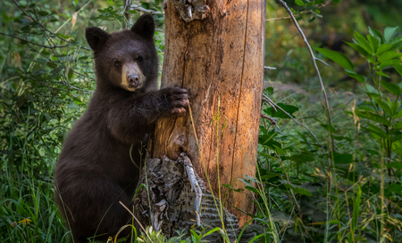 Young Black Bear Clings to Tree in thick forest