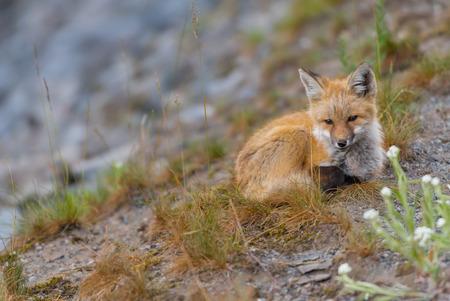Young Red Cascades Fox Looks Toward Camera on hillside
