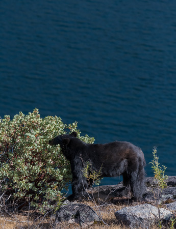 Black Bear Munches on Berries Along Hetch Hetchy Resevoir