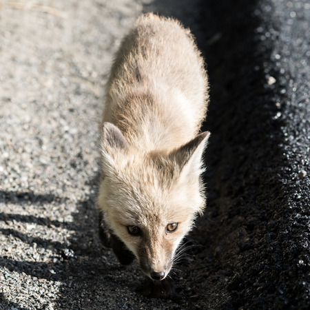 Curious Red Cascade Fox Looks Up from gravel road