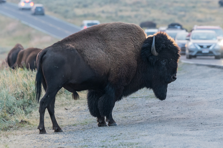 Bison Stands at the Edge of Busy Road in Yellowstone National Park