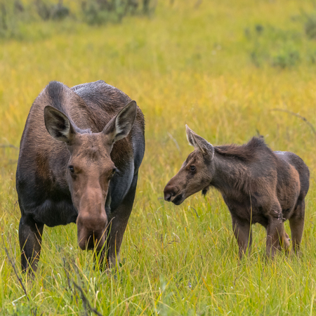 Moose Calf and Mother Graze Together in Grassy Field