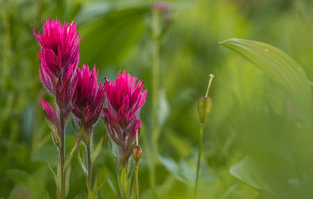 Scarlet Paintbrush with Copy Space to right