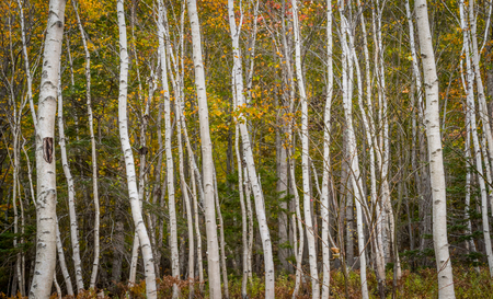 Thick Forest of Thin Paper Birch Trees in Maine Stock Photo